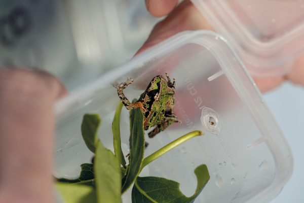 The frog pictured was collected from Whareorino, along with 79 others, then quarantined for six months at Auckland Zoo in order to ensure none were infected with chytrid, a fungus thought to have caused a substantial decline in Archey's frog numbers on the Coromandel.